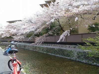 三条桜桜.jpg