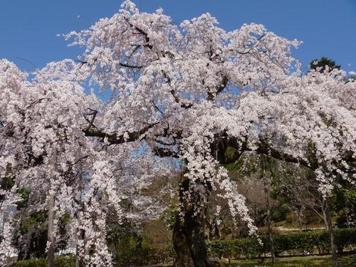 円山公園のしだれ桜.jpg