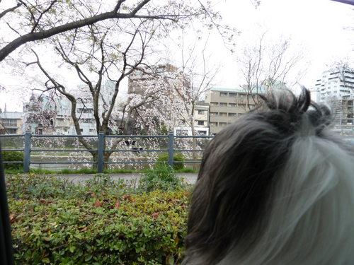 桜と風.JPG