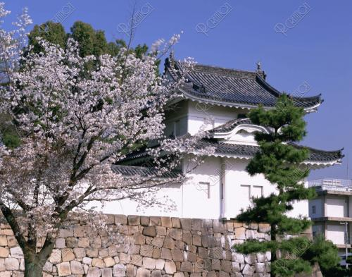 二条城桜3.jpg