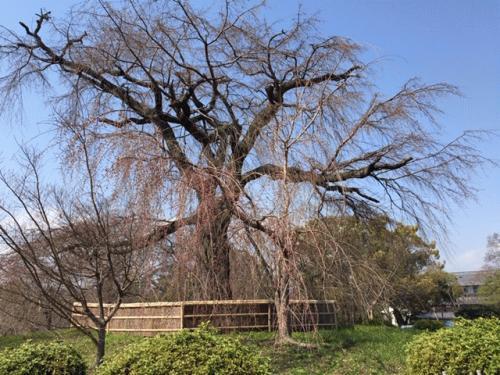 円山公園しだれ桜3月17日.jpgのサムネール画像