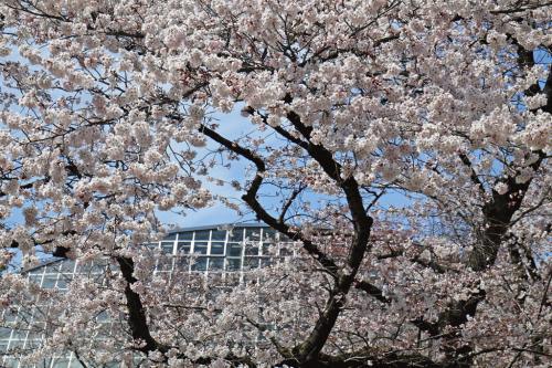 植物園桜3.jpg